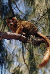 madagaskar-—Crowned-lemur-aan-de-baai-van-Sakalava