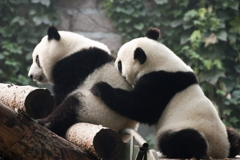 hoogtepunten in Beijing - panda's in de dierentuin