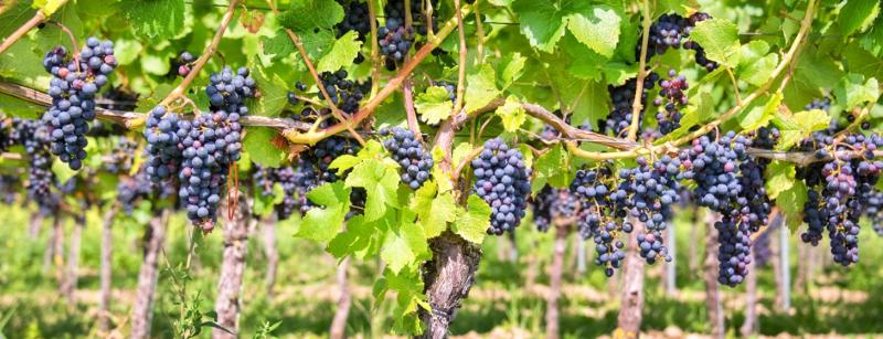 italiaanse wijnranken