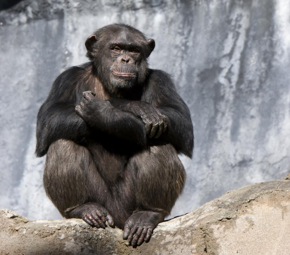 Ivoorkust chimpansee