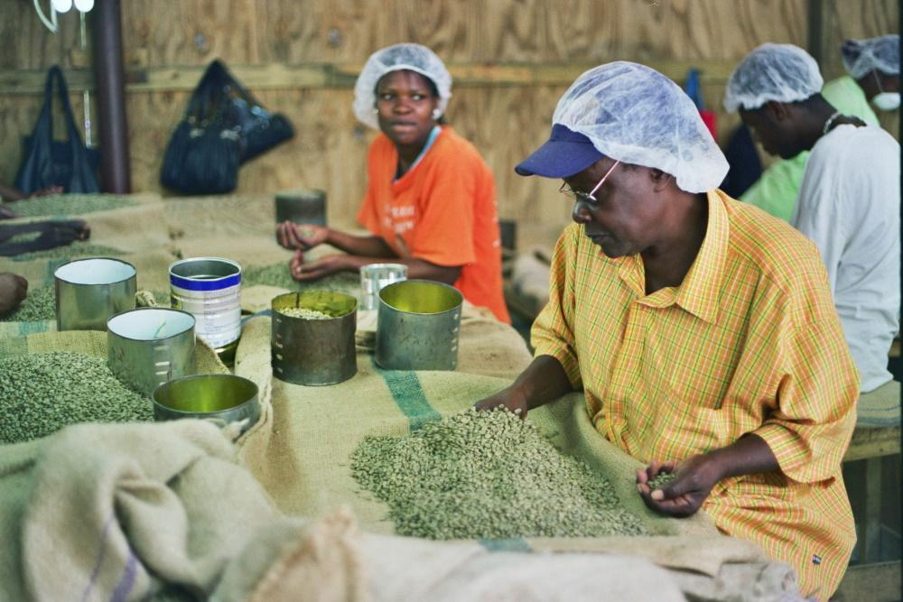 Jamaica vrouwen sorteren koffie in de fabriek
