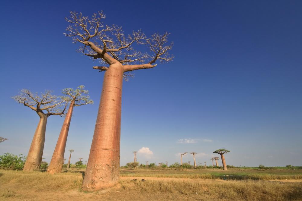 Madagaskar Baobab in het landschap
