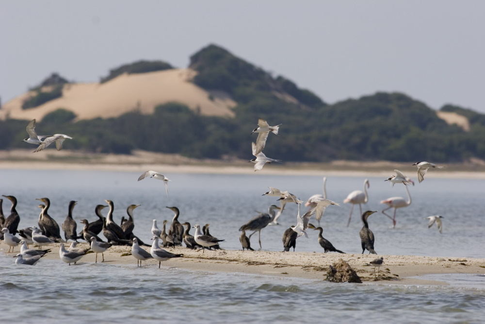 flamingo's on Bilene lagoon with terns and cormorants, Mozambique