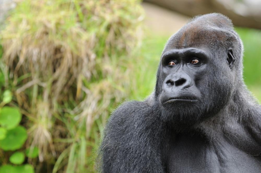 Nigeria de Western Lowland Gorilla die ook in Nigeria voorkomt
