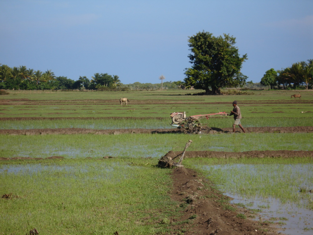 Oost timor rijstvelden