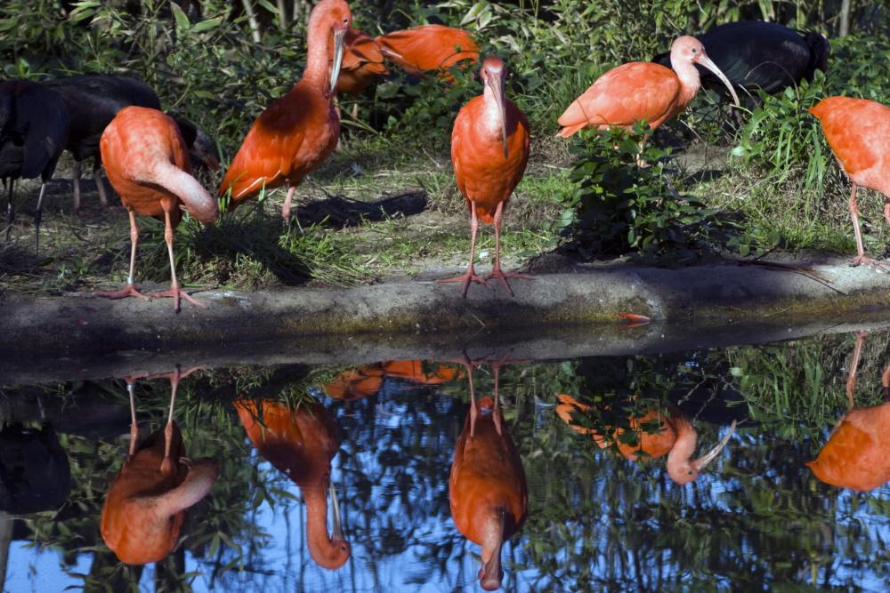 Trinidad and Tobago rode ibis